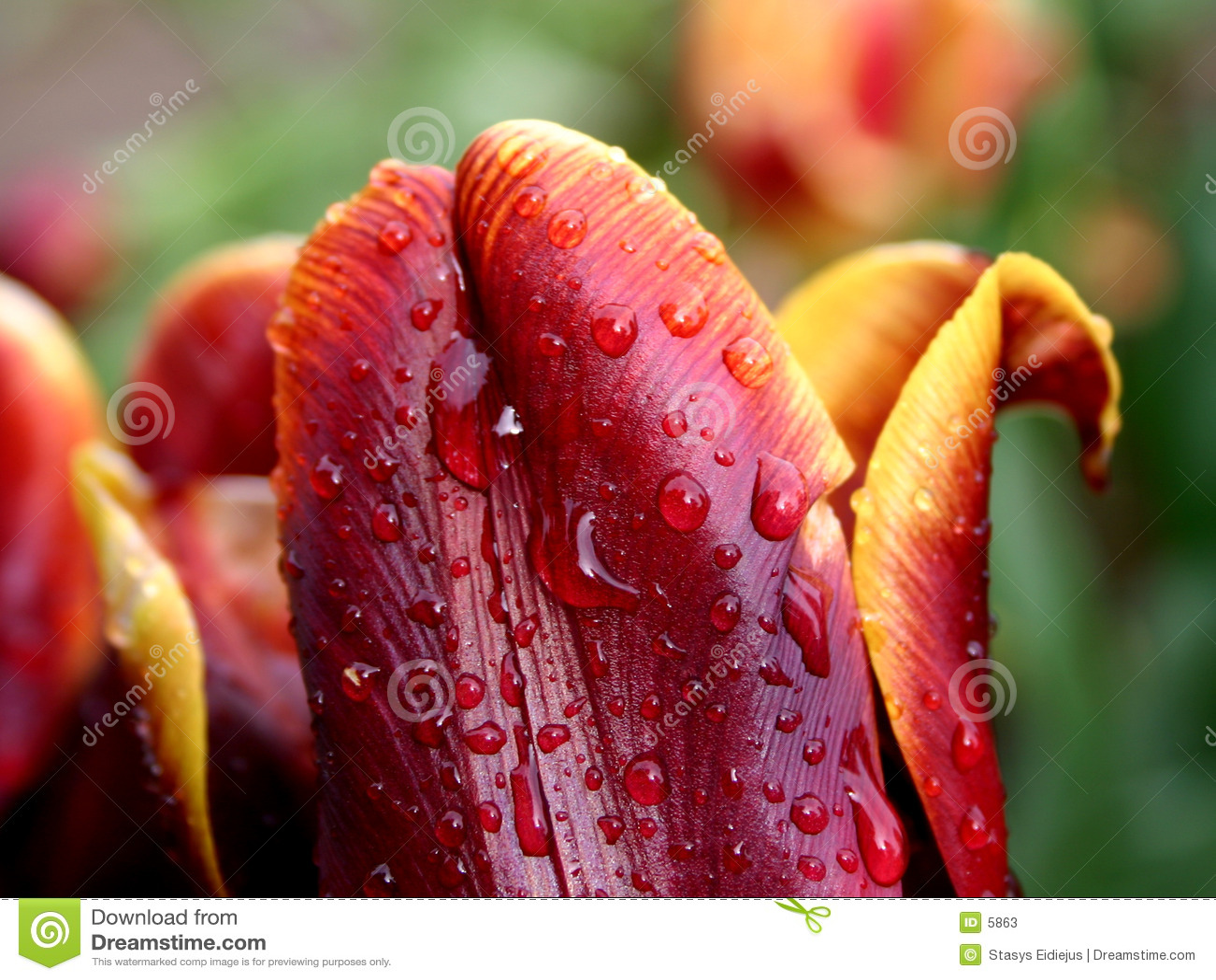 Yellow-red tulip in the rain