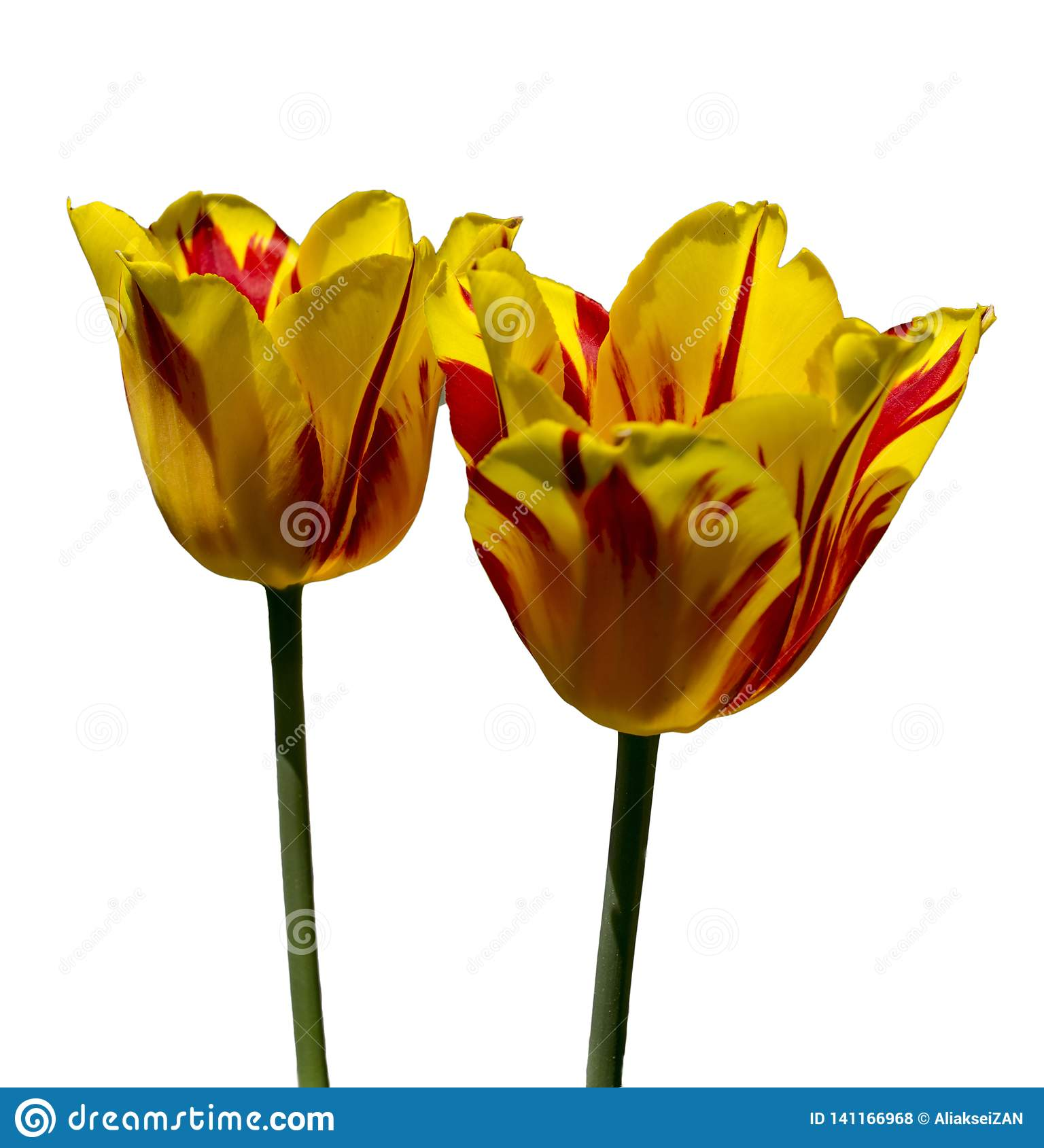 Yellow red tulips on a white background. Isolated