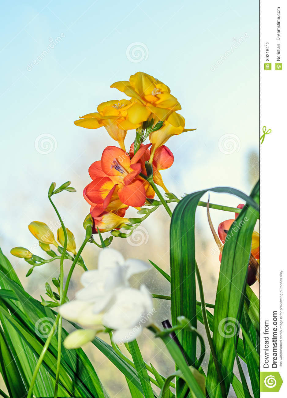Yellow Red And White Freesia Flowers Window Blue Background Stock