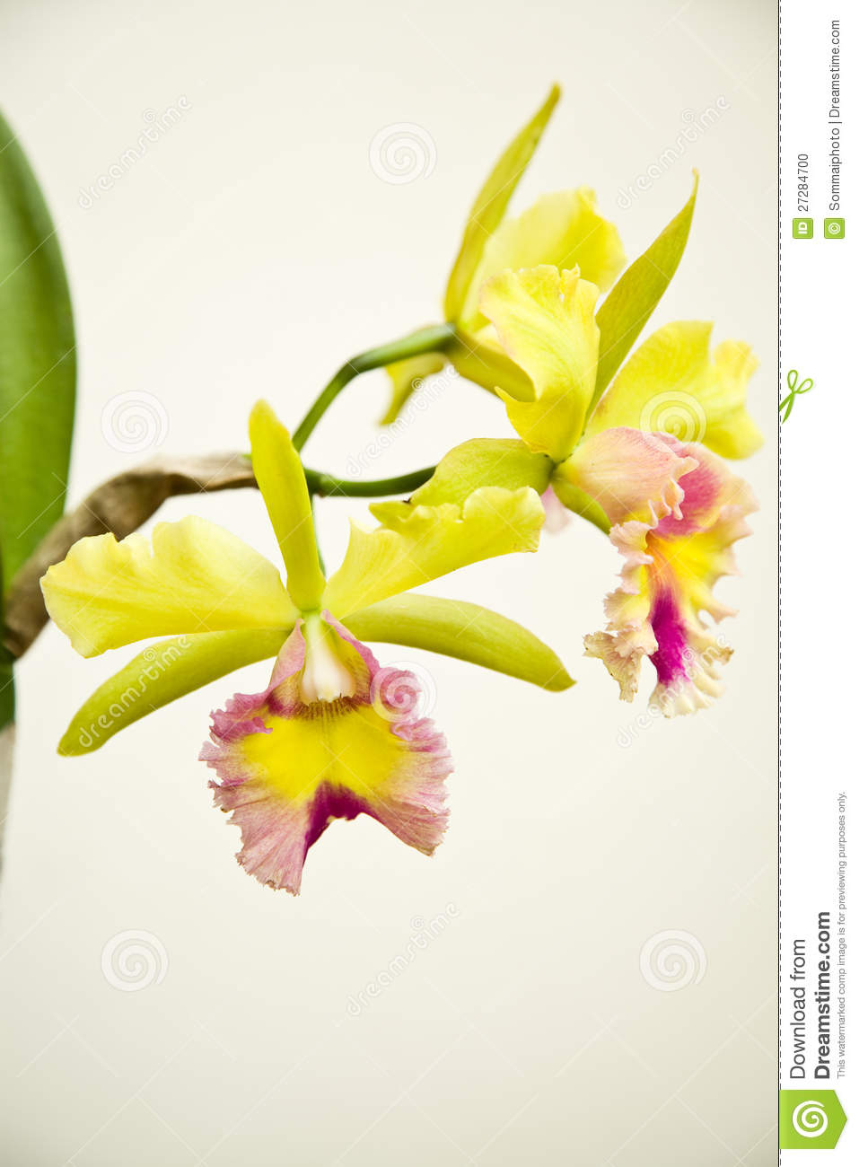 Yellow - rosa orchid, cattleya