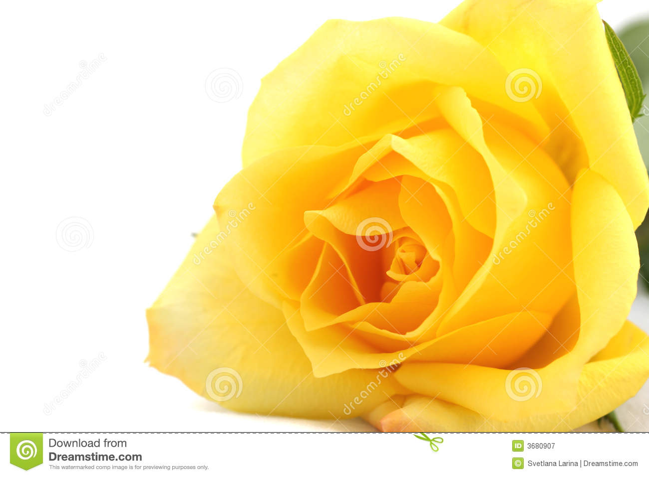 Yellow rose stock image. Image of background, delicate ...