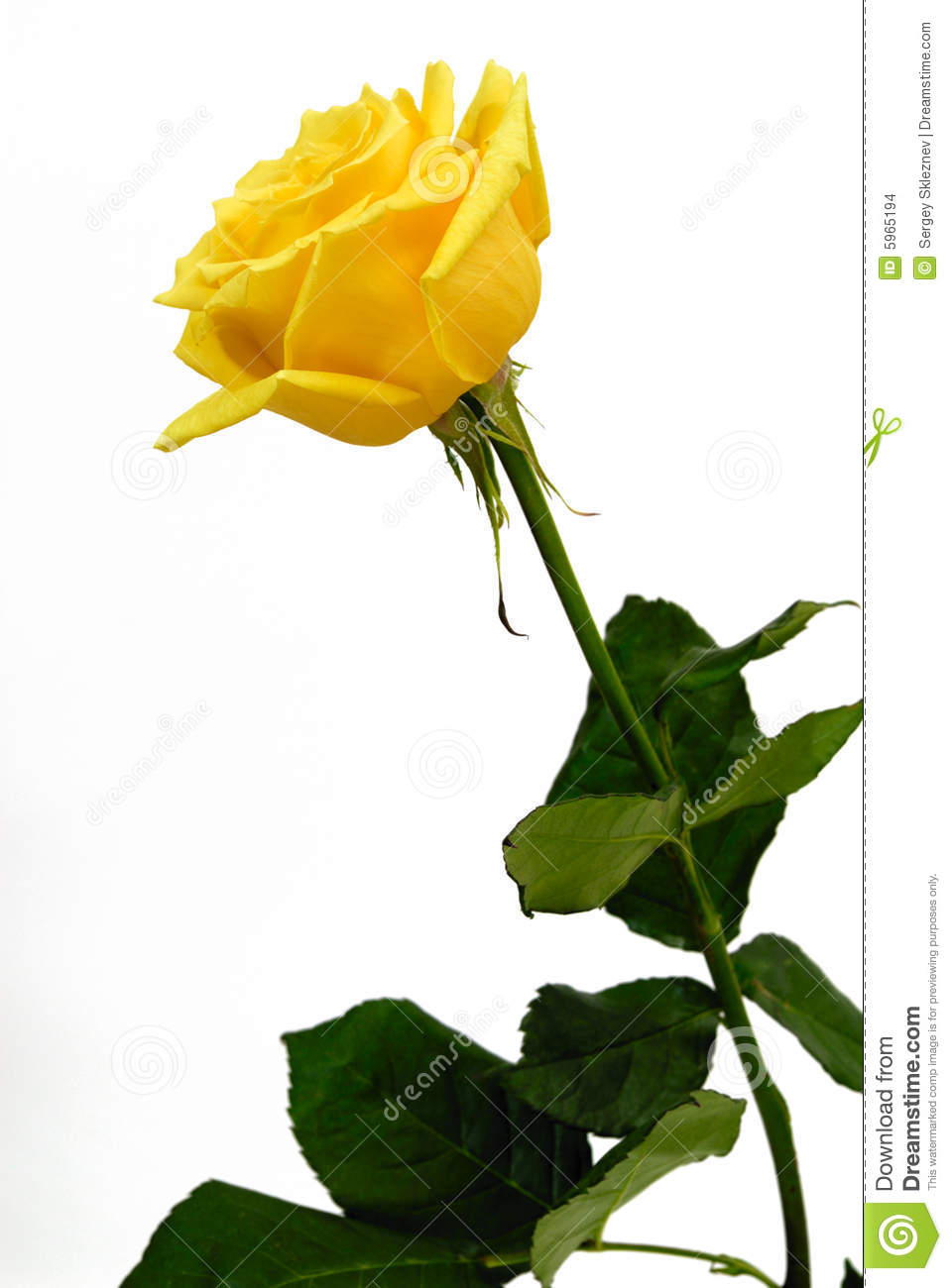 yellow rose stock photo. image of single, blossom, object - 5965194
