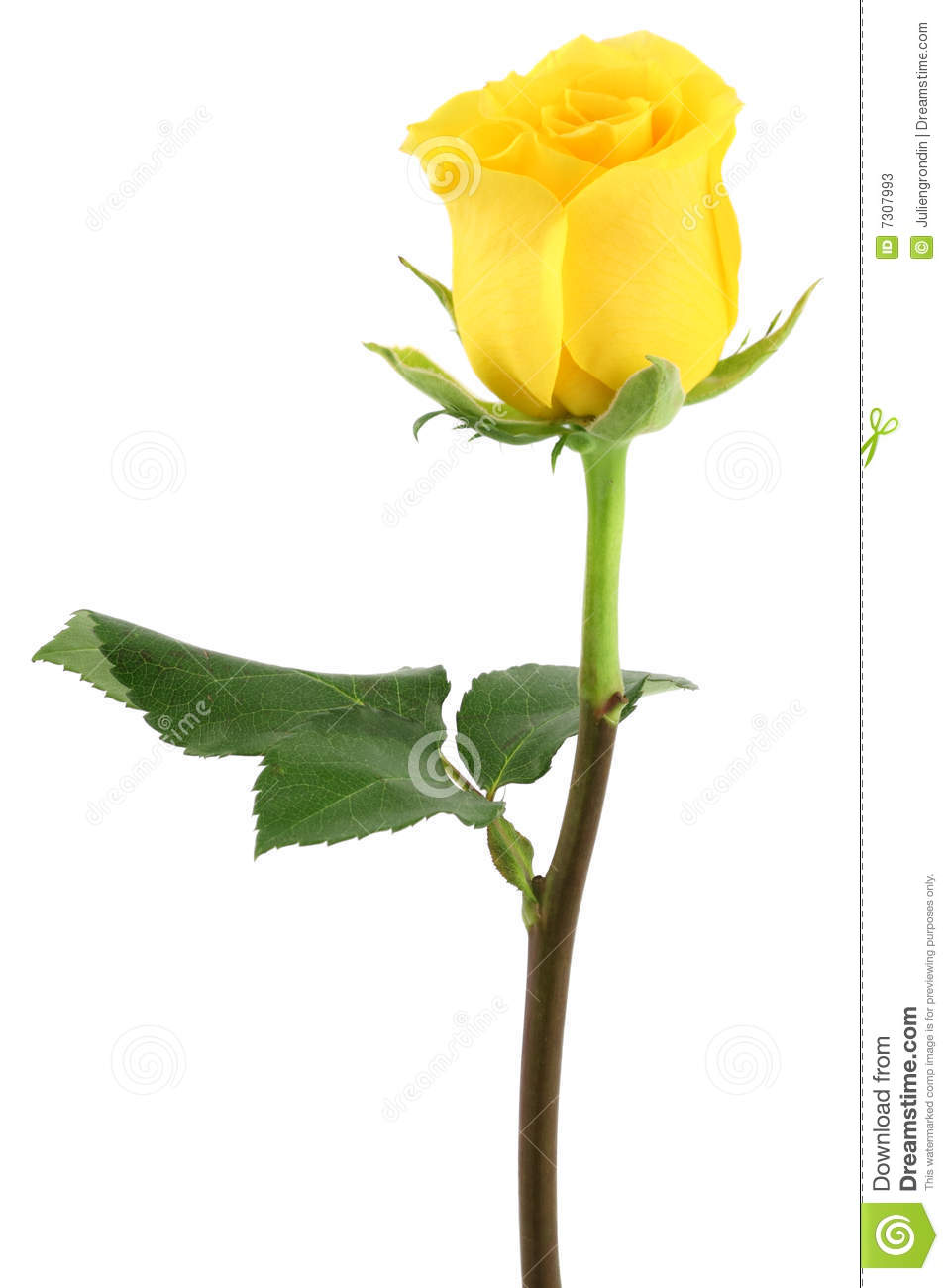 yellow rose stock image. image of bloom, yellow, nature - 7307993