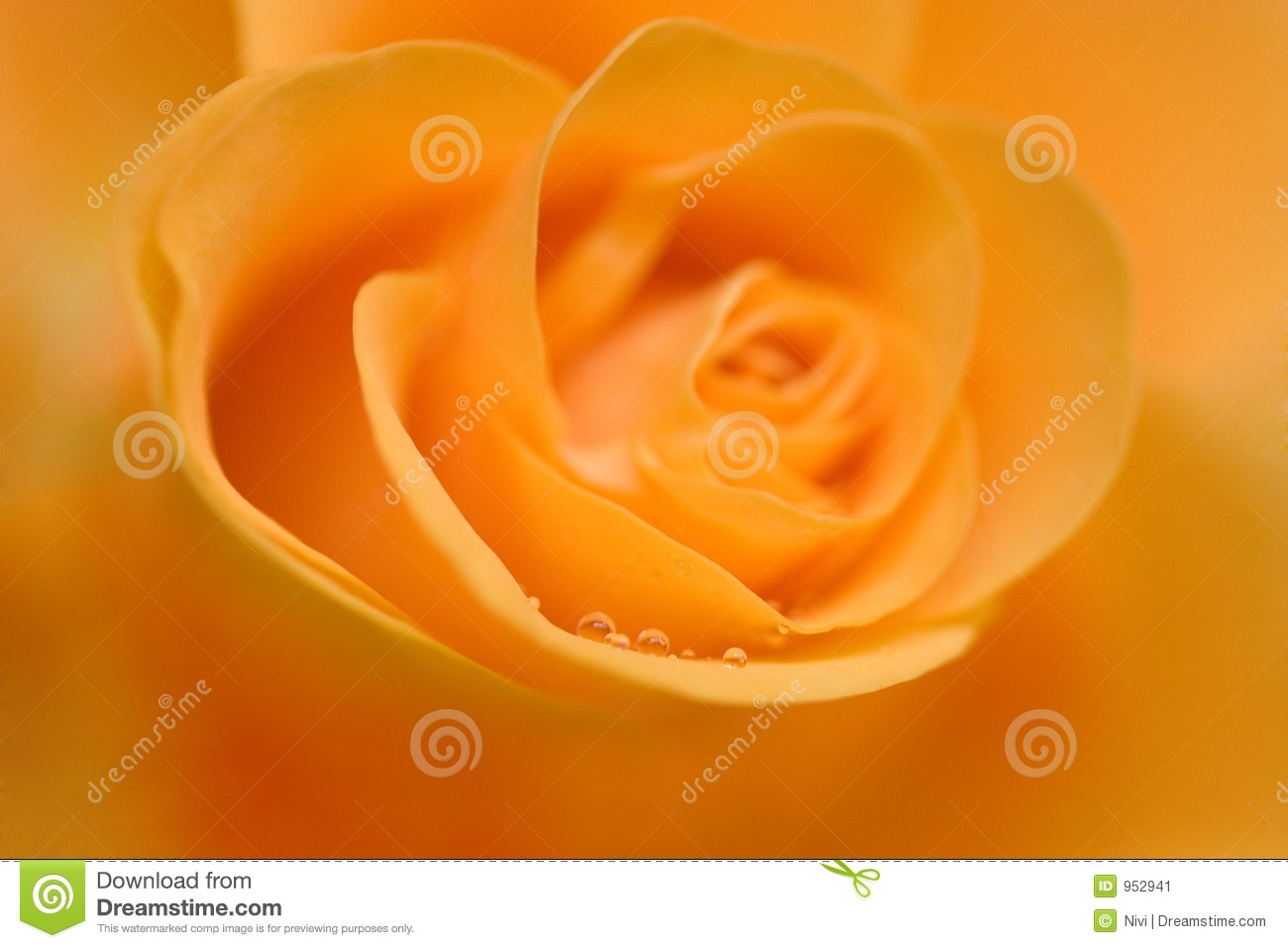 Yellow Rose With Water Drops: Yellow Rose With Water Drops Stock Image