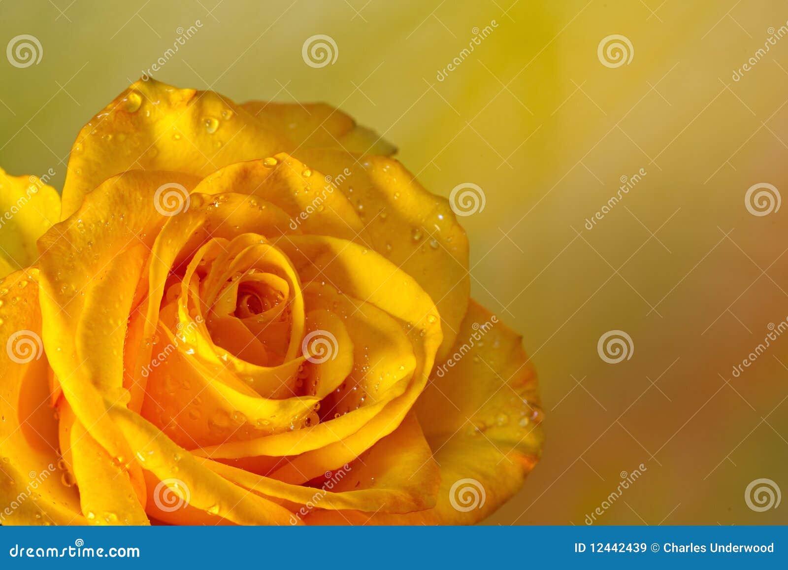 Yellow Rose Background...