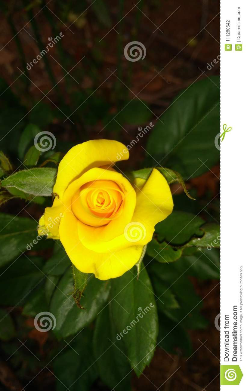 Yellow Rose Stock Photo Image Of Attractive Natural 111280642