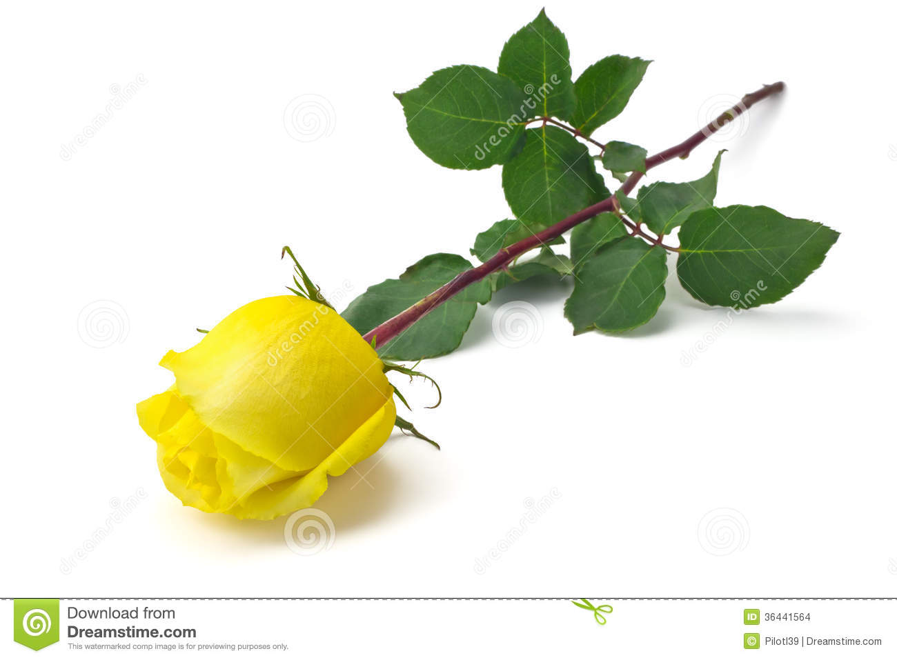 Yellow Rose Stock Images - Image: 36441564