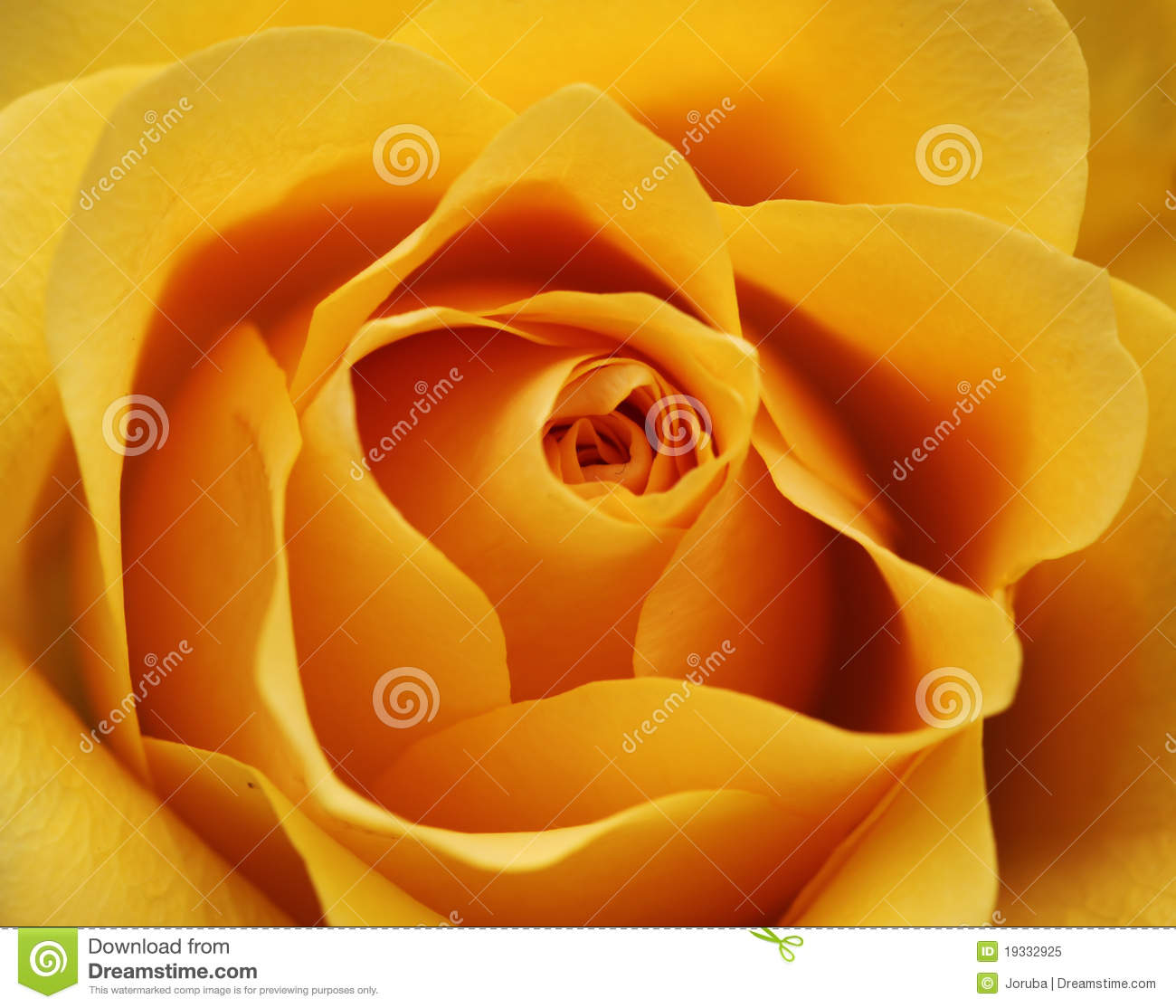 Download Yellow rose blossom stock image. Image of blooming, flower - 19332925