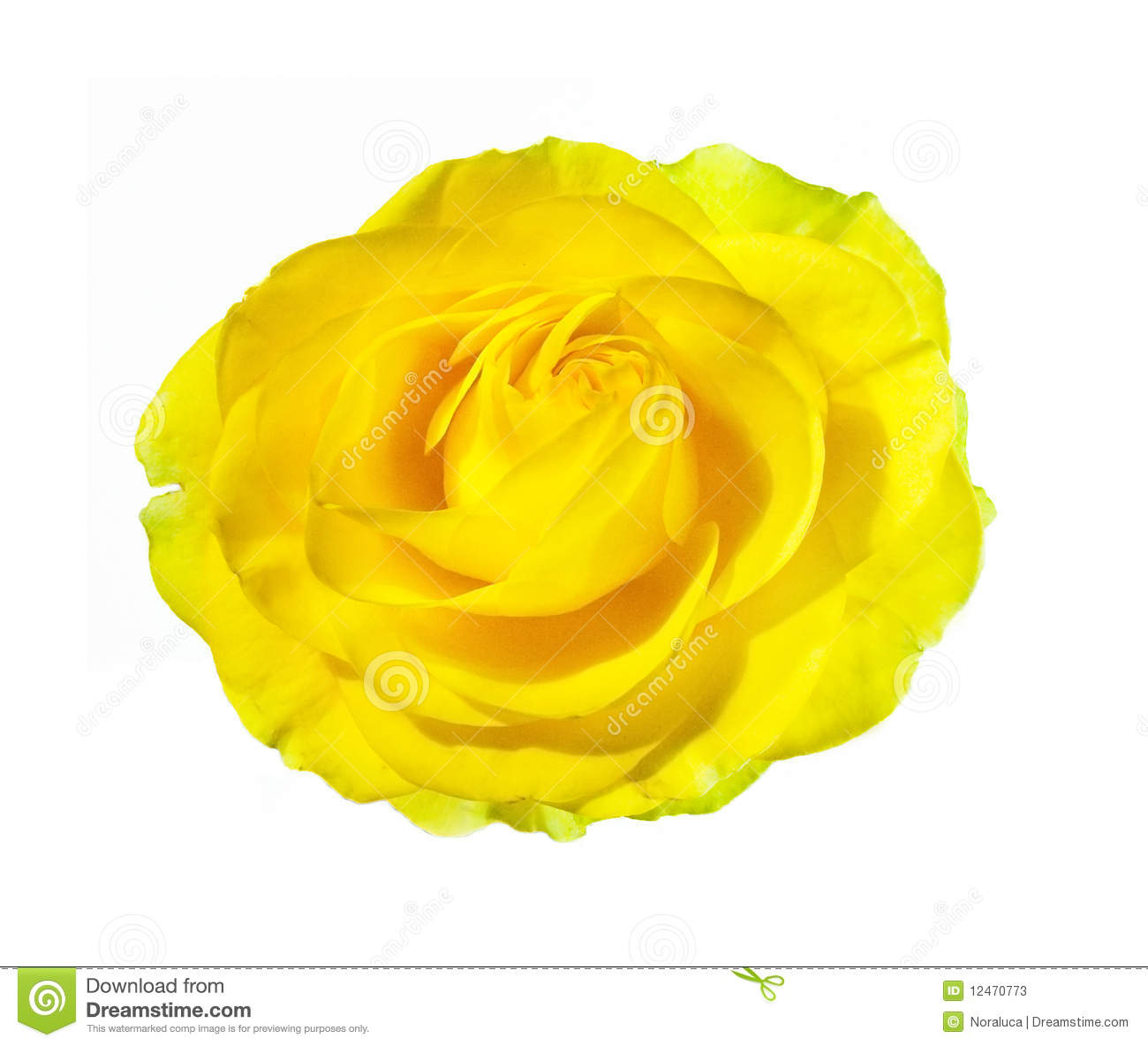 Yellow Rose Blossom On White Stock Photos - Image: 12470773