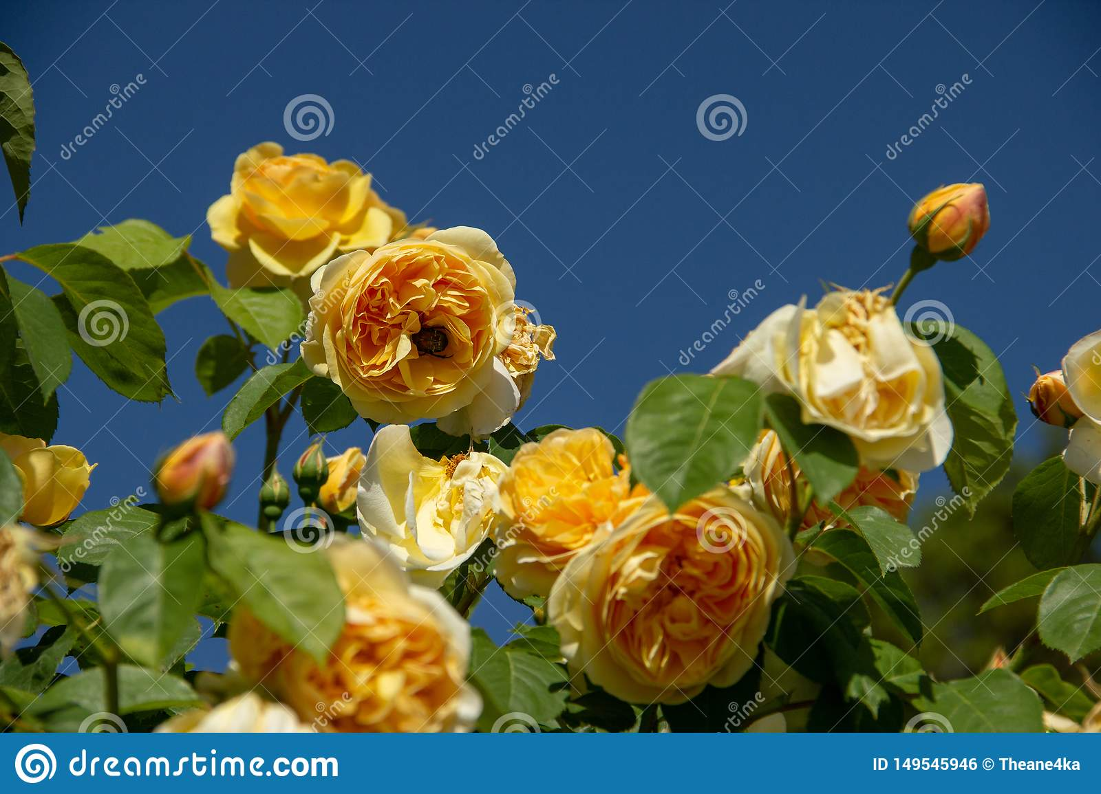 Yellow rose with bumble bee on blue sky background