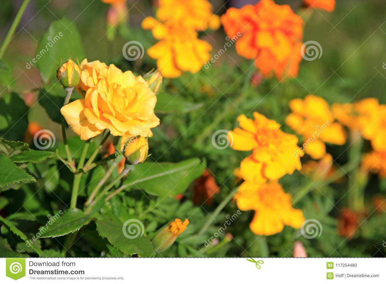 Yellow Rose On The Background Of Flowers Marigolds Stock Photo