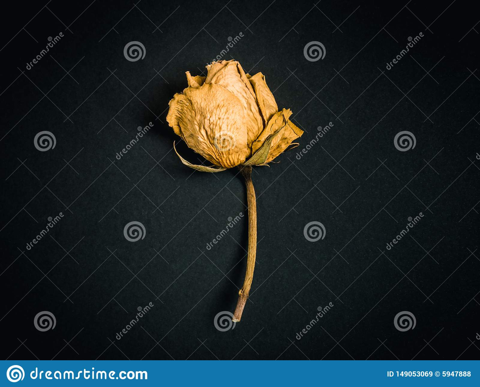 Yellow rose. Dried flower