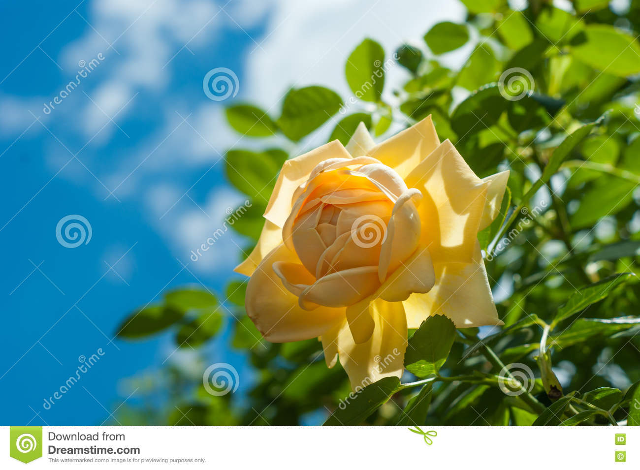 Yellow rose flower on blurred of blue sky background stock photo background blue blurred clouds flower rose sky yellow dhlflorist Image collections