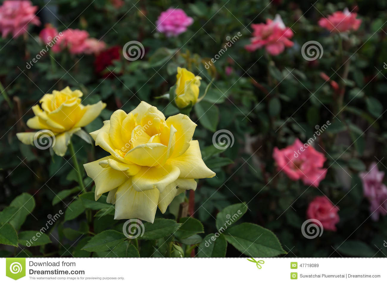 Rose flower garden pictures - Yellow Rose Flower In Garden Royalty Free Stock Images