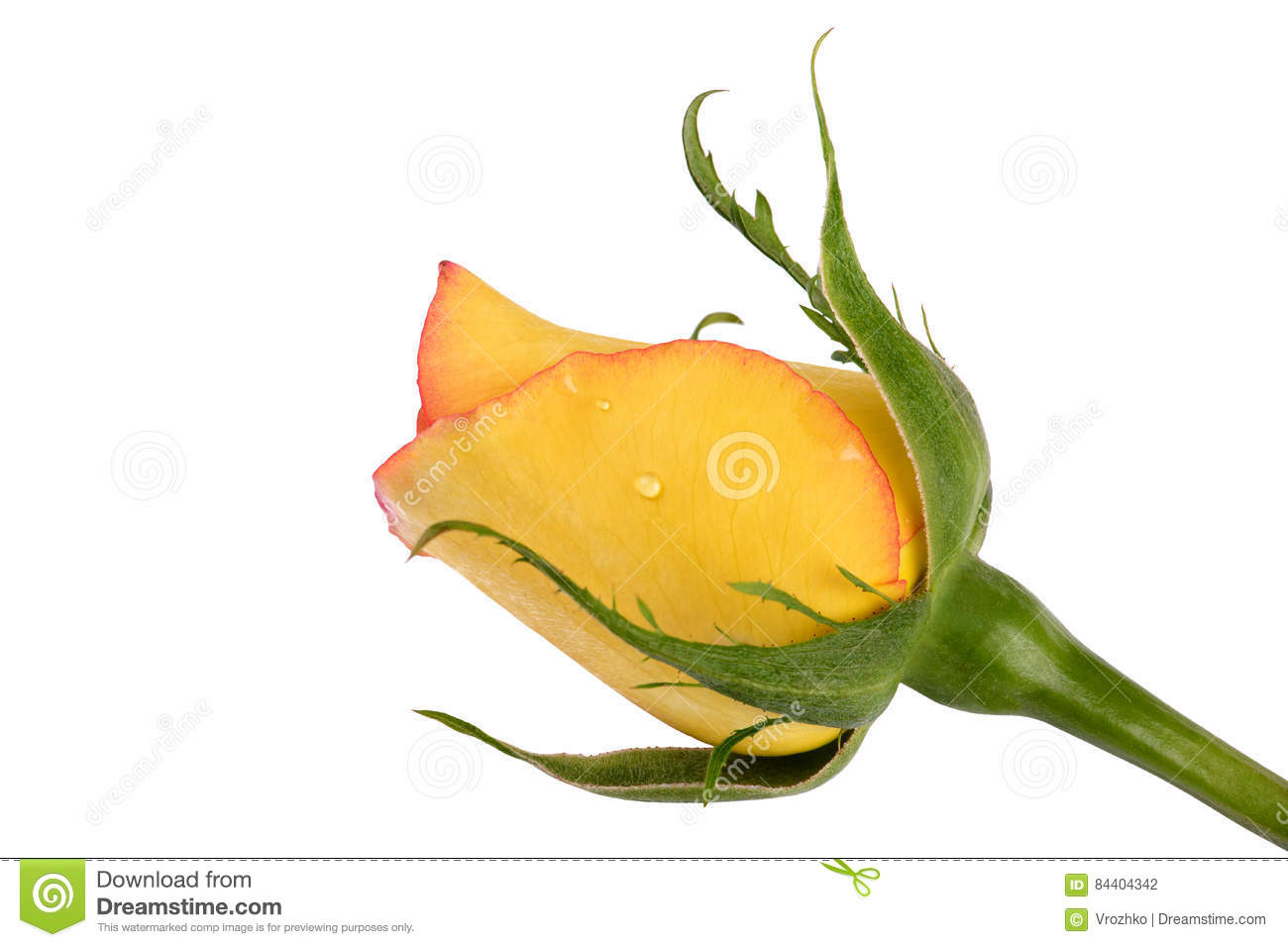 yellow rose flower isolated on white background stock
