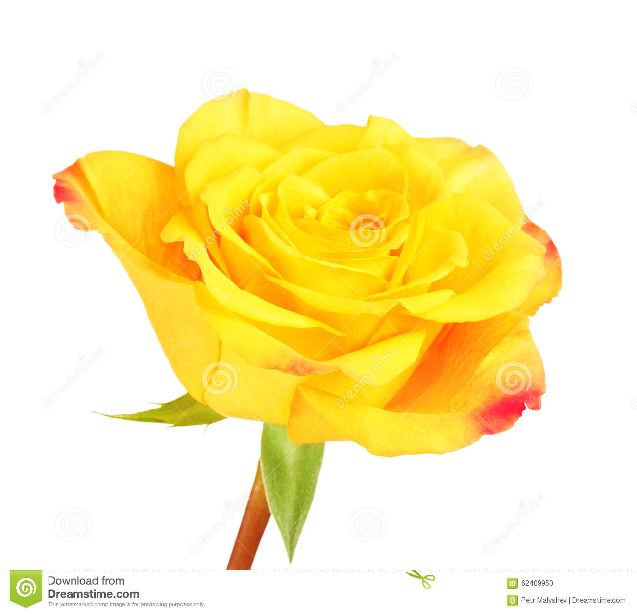 yellow rose flower stock photo image of love petal