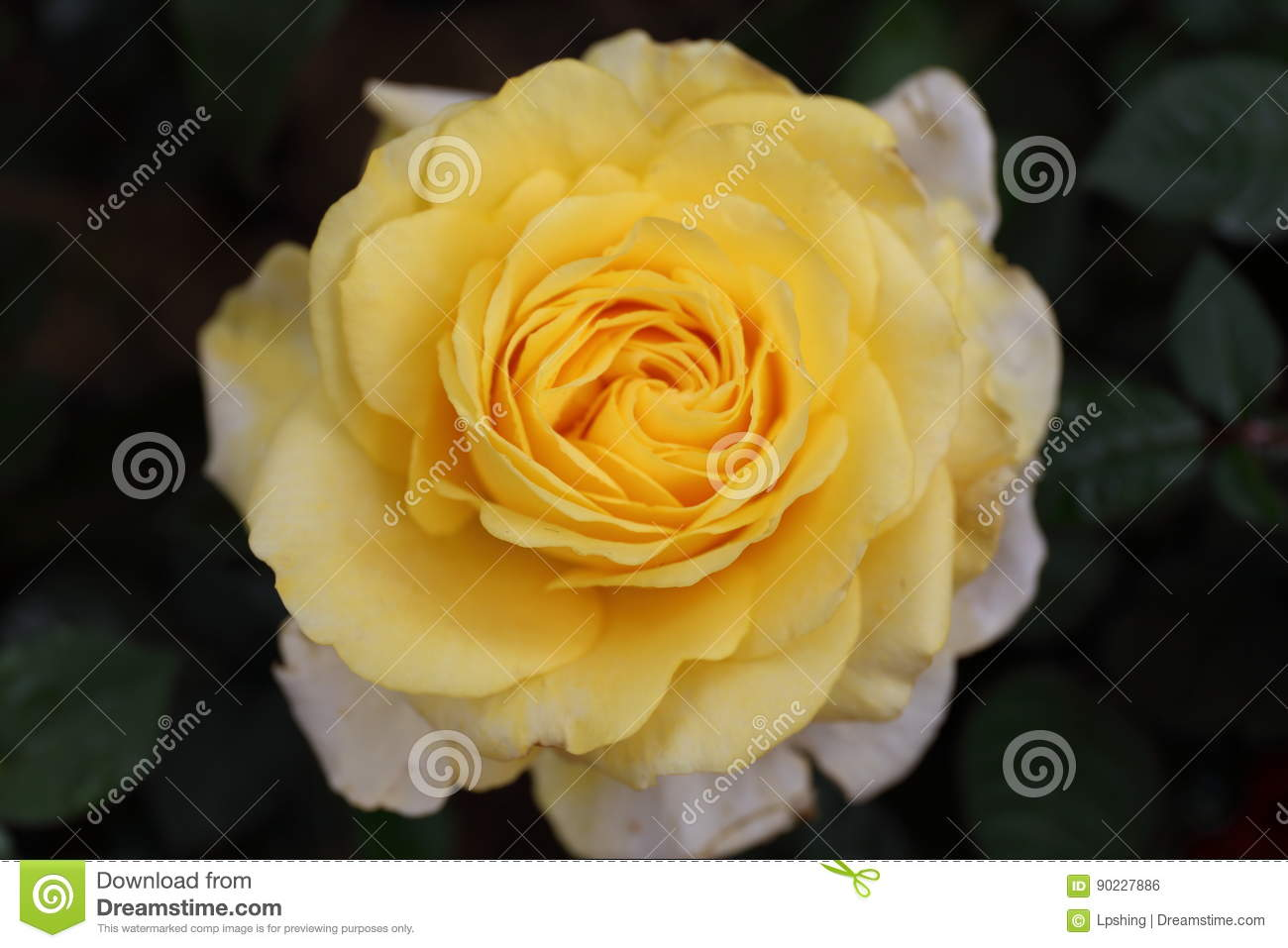 Yellow Rose In Garden Stock Photo Image Of Most Girls 90227886
