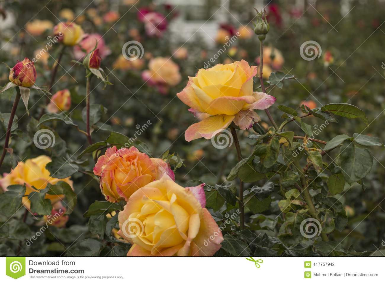 Yellow Rose Gardens stock photo. Image of forest, eden - 117757942