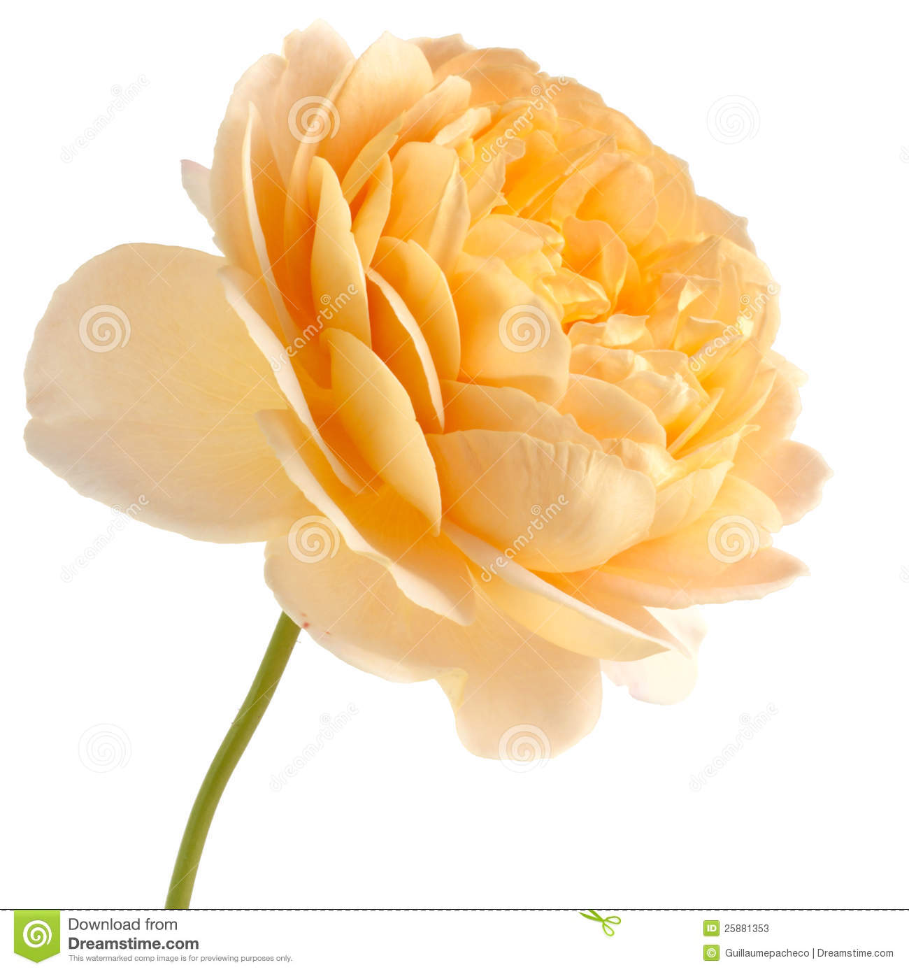 yellow rose isolated on white background stock image