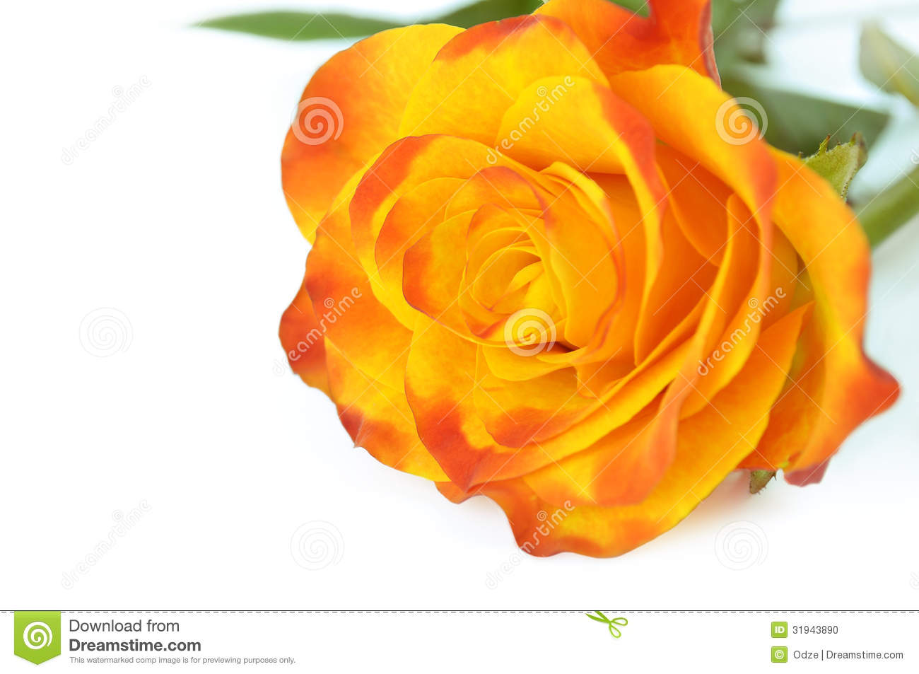 Yellow Rose Stock Photo - Image: 31943890