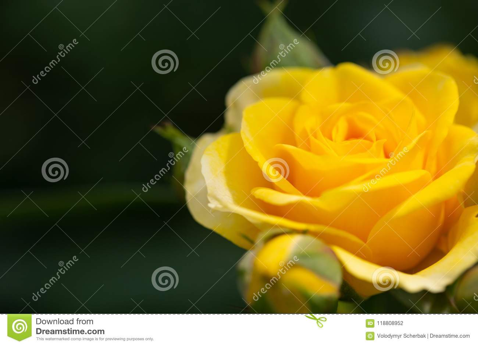 Yellow Rose Meaning Bright Cheerful And Joyful Create Warm Feelings
