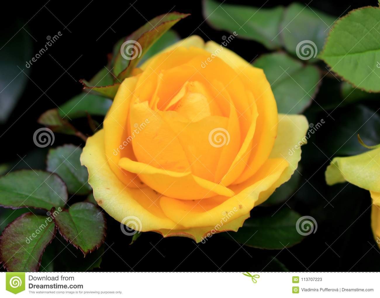 Yellow rose plant of rosaceae family with big yellow flowers stock yellow rose plant of rosaceae family with big yellow flowers mightylinksfo