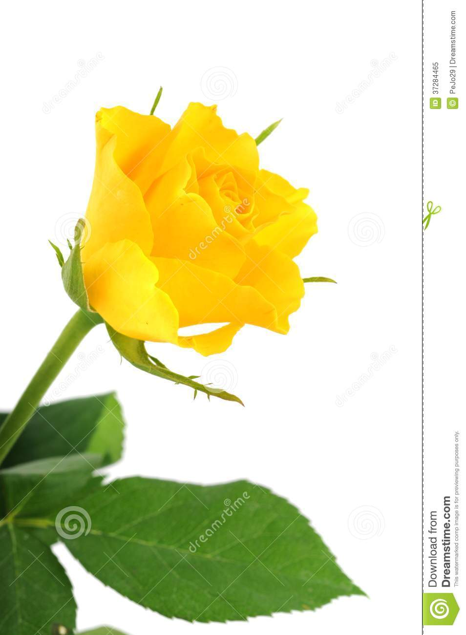 Yellow rose stock image. Image of close, petal, flower ...