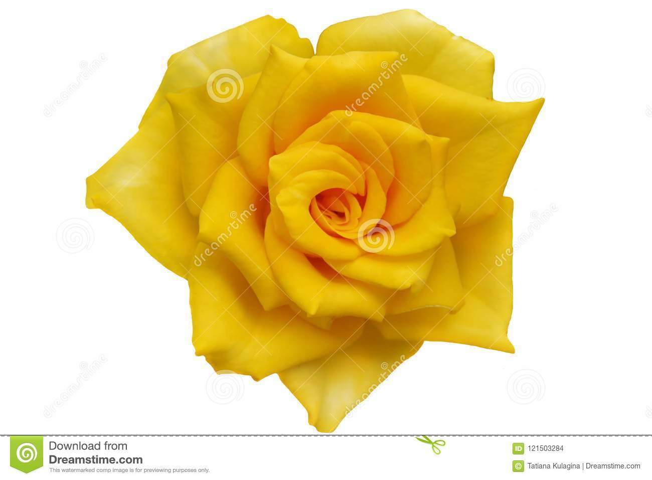 Yellow Roses Png Stock Photo Image Of Affection Curl 121503284