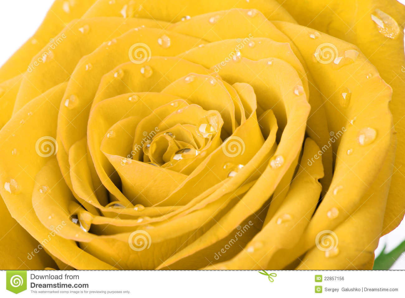 Yellow Rose With Water Drops: Yellow Rose With Water Drops Royalty Free Stock Image