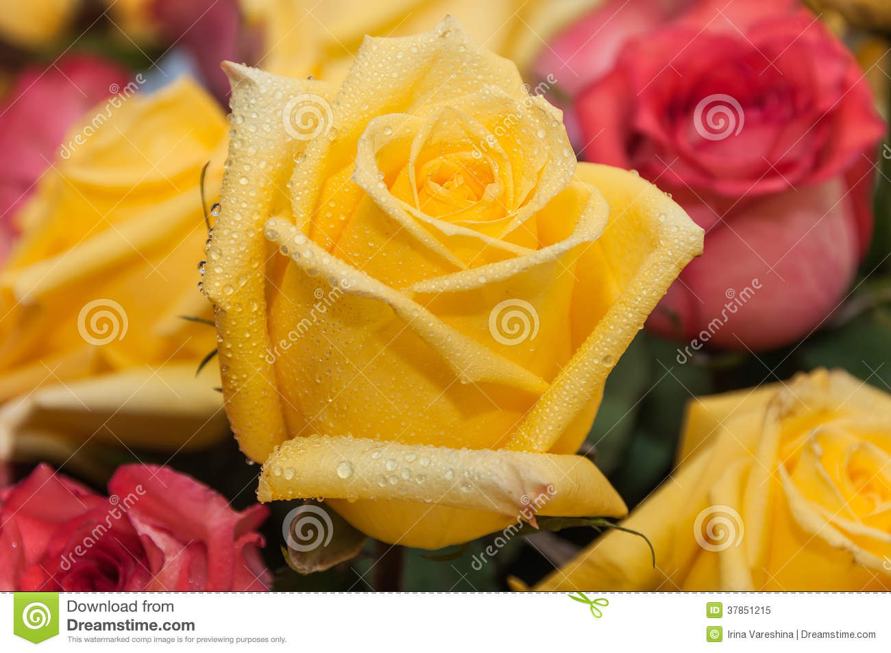 Yellow Rose With Water Drops: Yellow Rose Water Drops Royalty Free Stock Photo