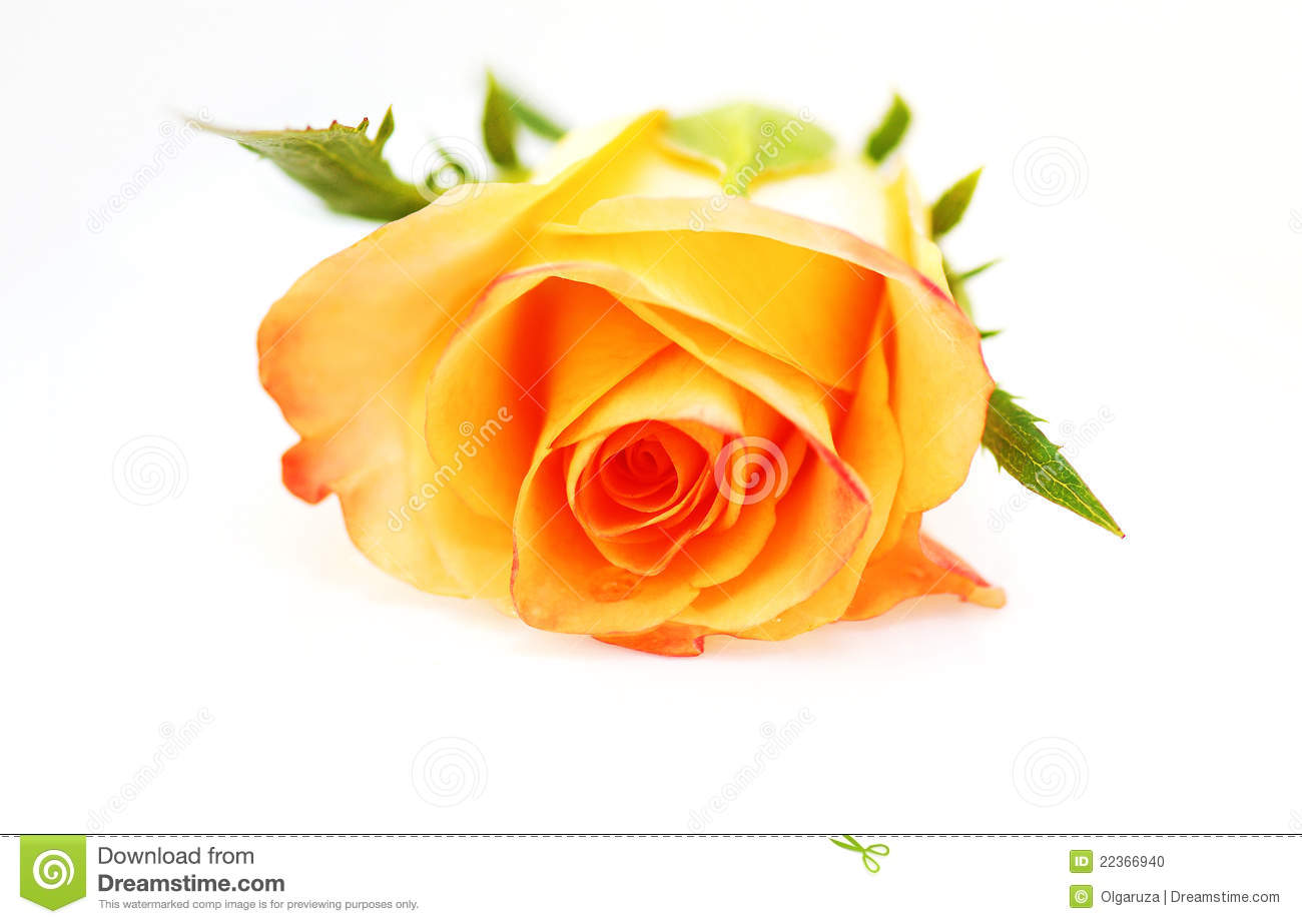 Yellow Rose On A White Background Stock Photo - Image ...