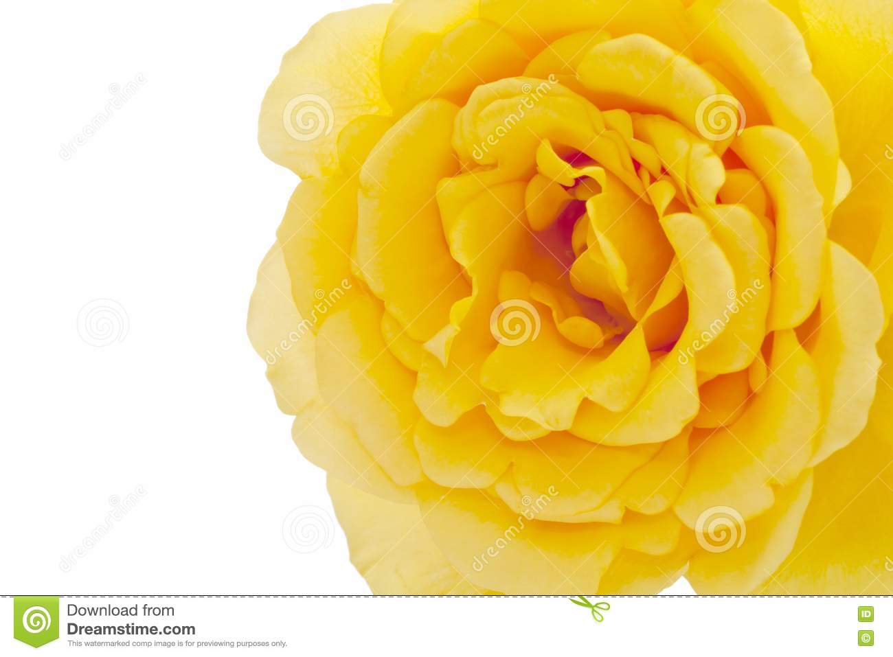 Yellow Rose On White Background Royalty Free Stock Photos ...