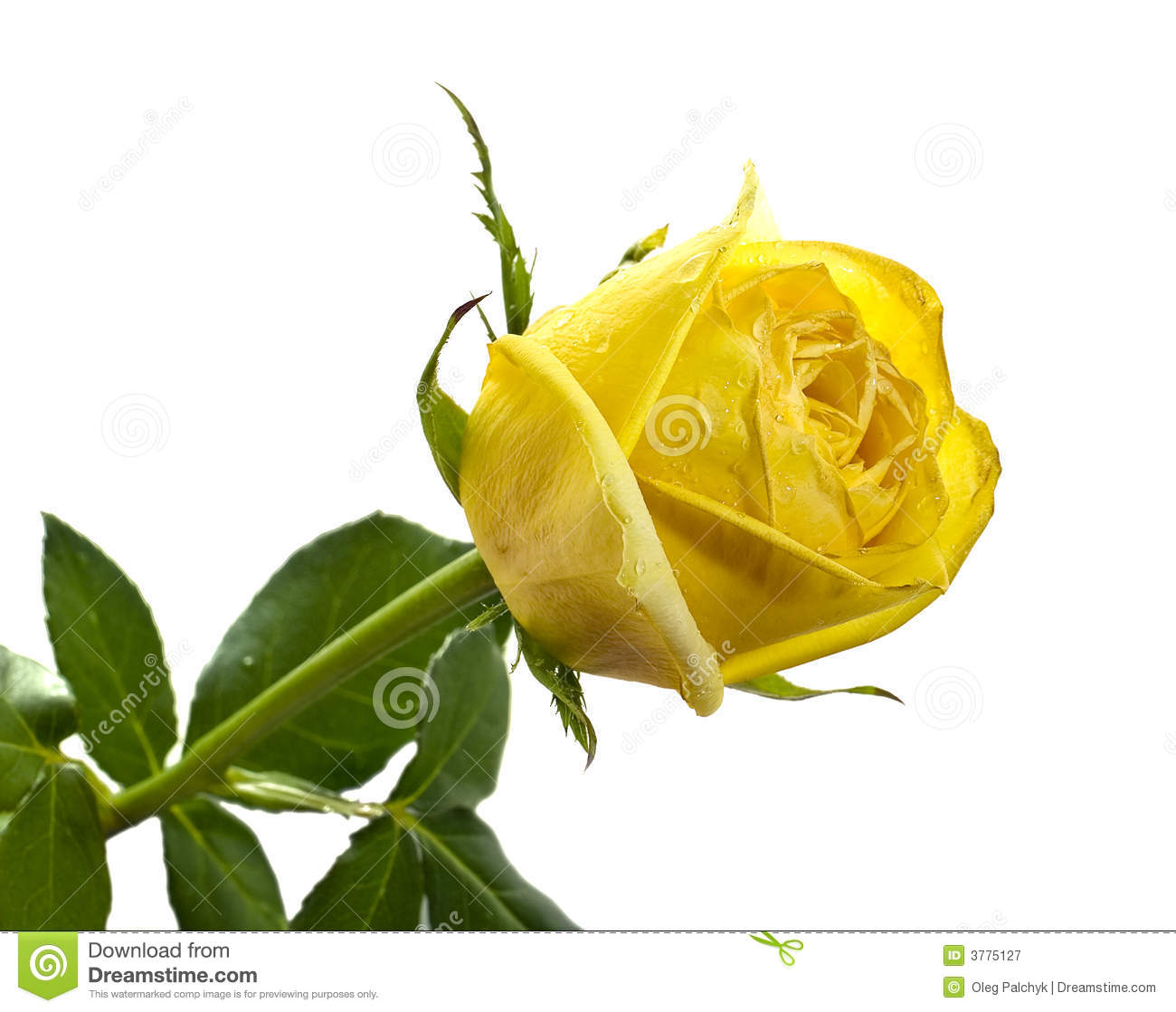 Yellow Rose On White Isolated Background Royalty Free ...