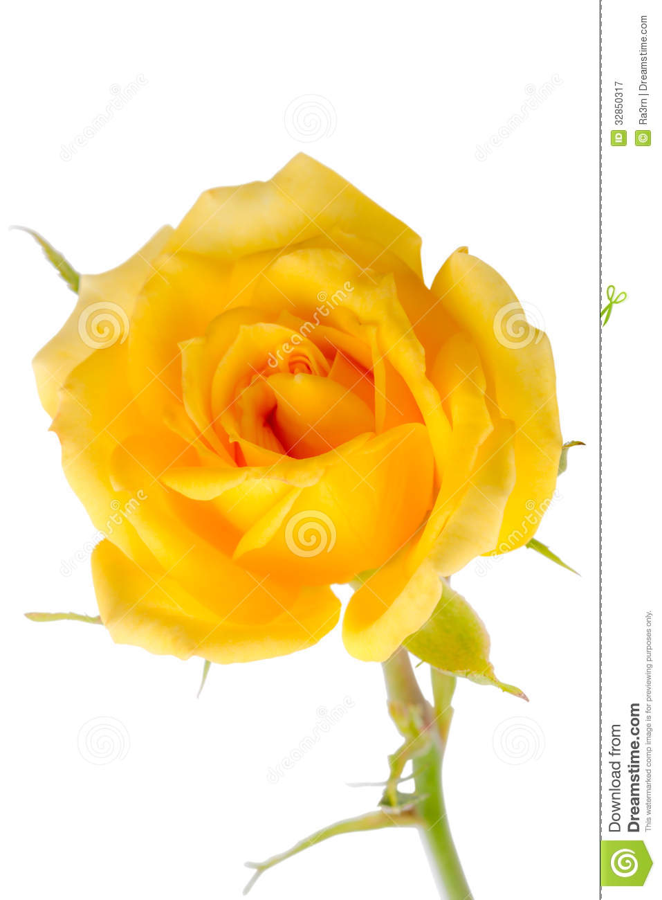 Yellow Rose On A White Royalty Free Stock Photography ...