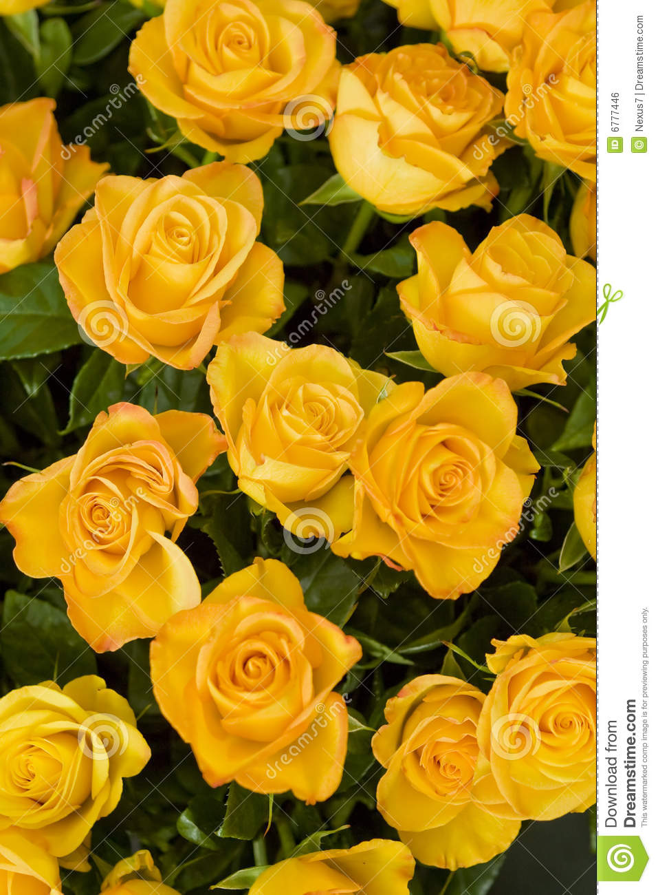 Yellow Roses Royalty Free Stock Image - Image: 6777446