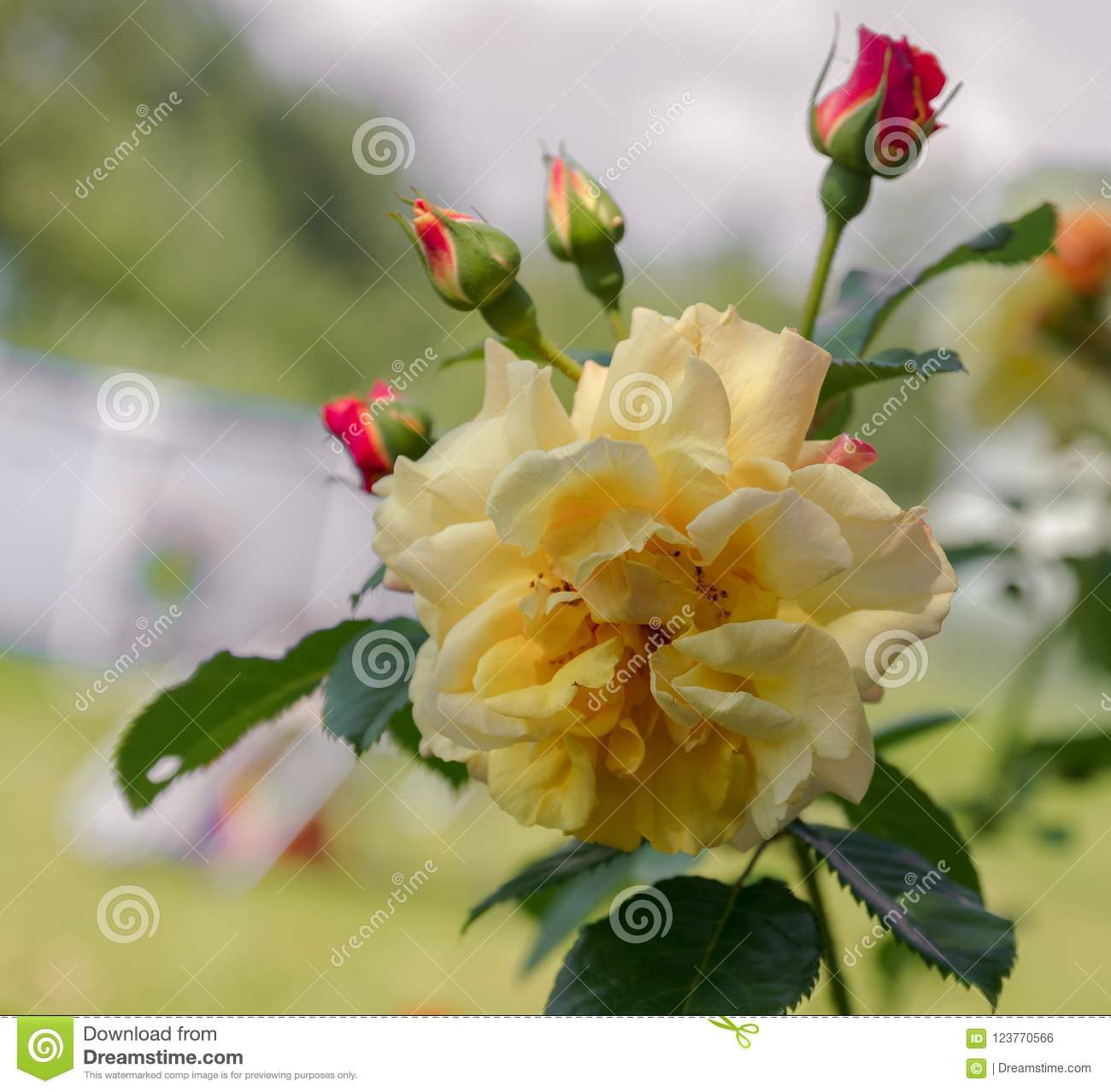 Yellow Roses Meaning Bright Cheerful And Joyful Create Warm