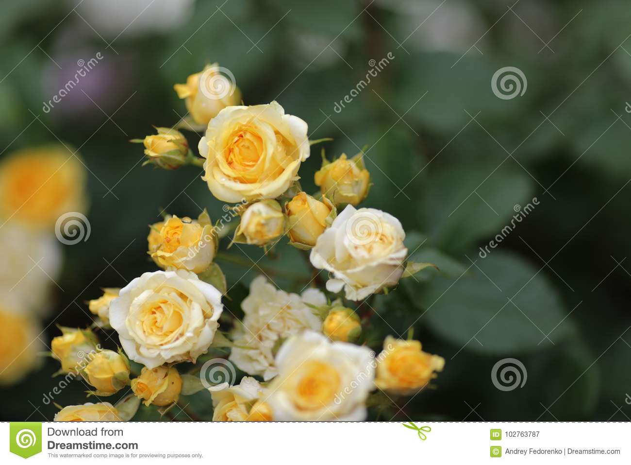 Yellow Roses Stock Image Image Of Giving Decor Nature 102763787
