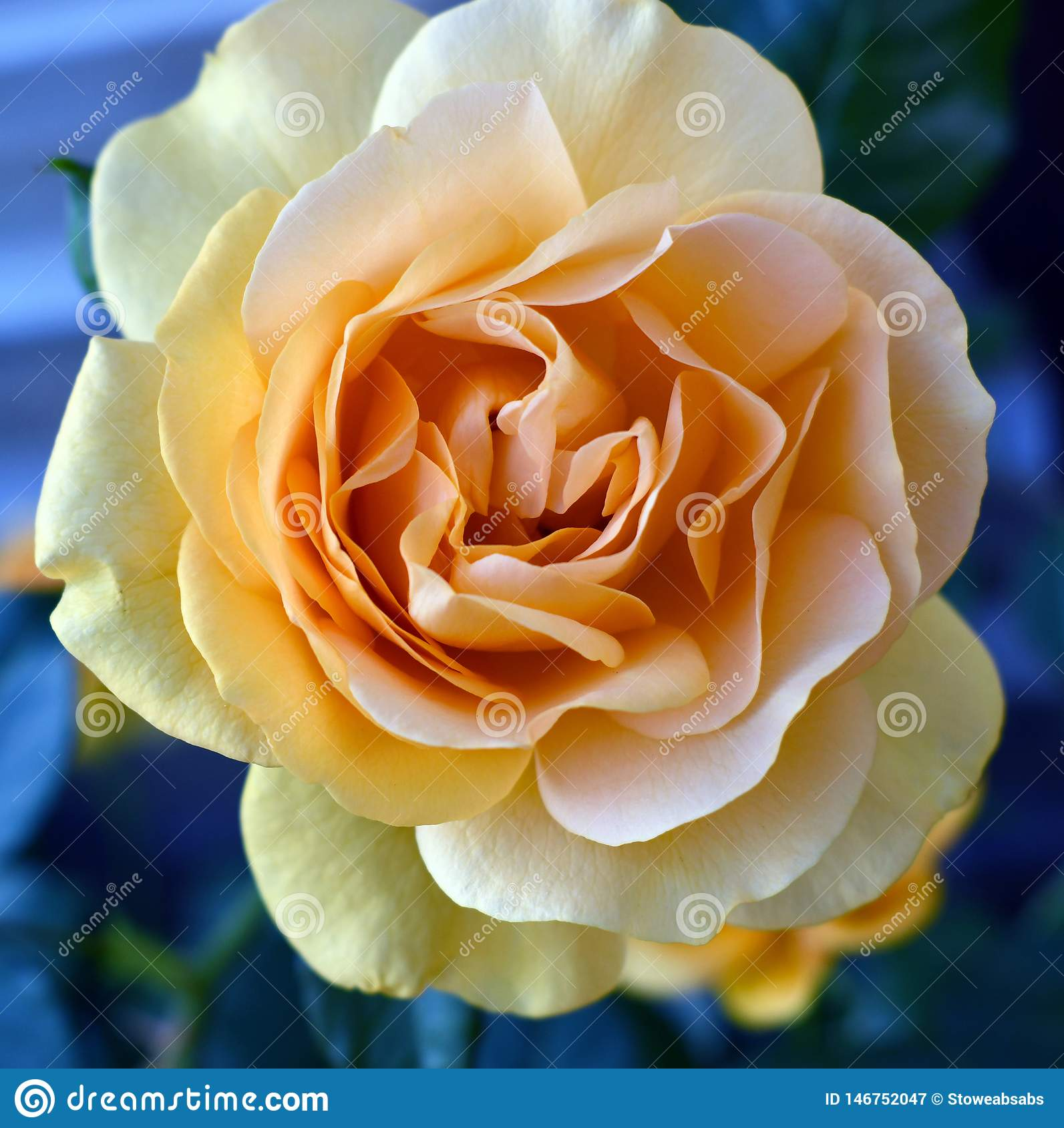 Yellow Roses yellow roses symbolize