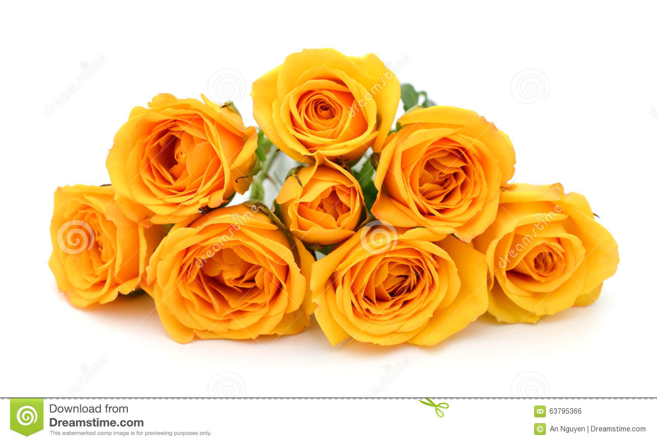 Yellow Roses In White Background Stock Photo - Image: 63795366