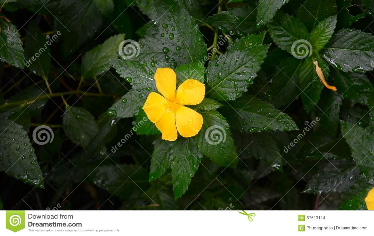 Yellow Sage Rose Flower Stock Footage Image Of Fresh 67613114