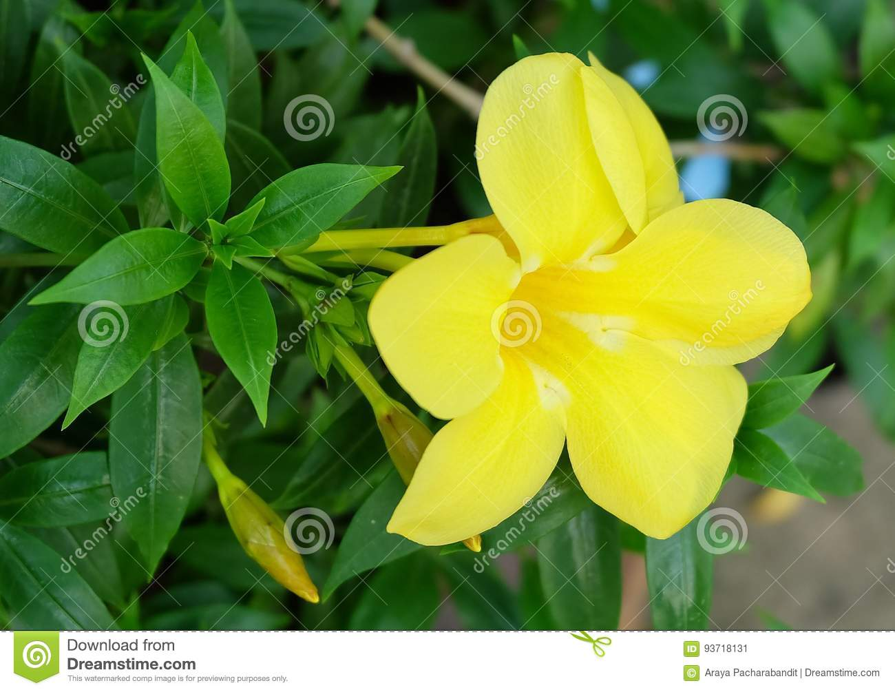 Yellow sage rose flowers with green leaves stock image image of yellow sage rose flowers with green leaves mightylinksfo