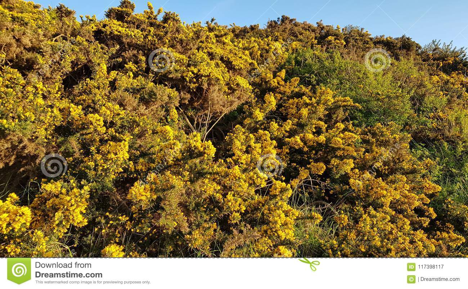 Yellow shrubs in spurn point uk