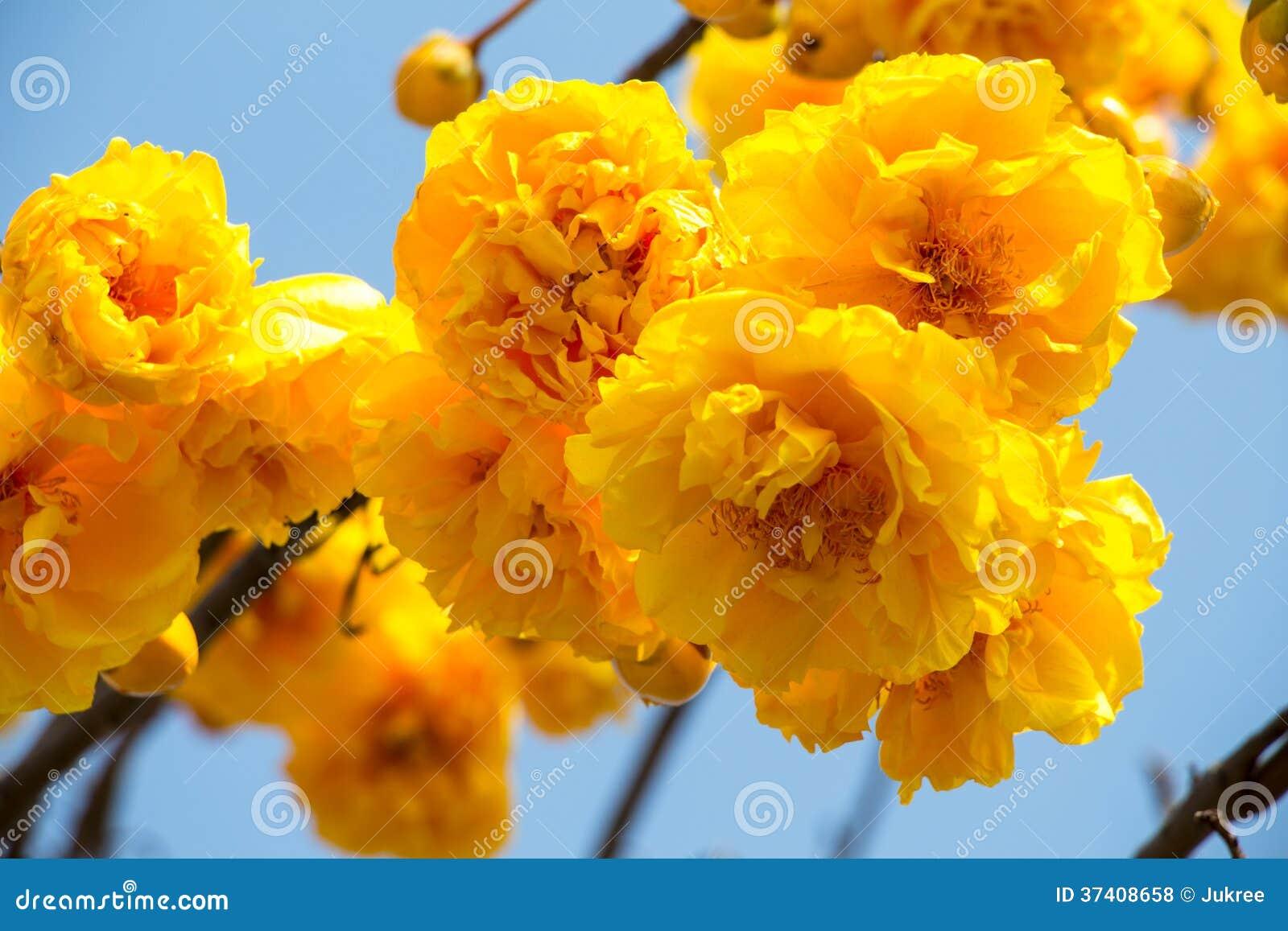 Yellow silk cotton tree flower stock photo image 37408658 - Trees that bloom yellow flowers ...