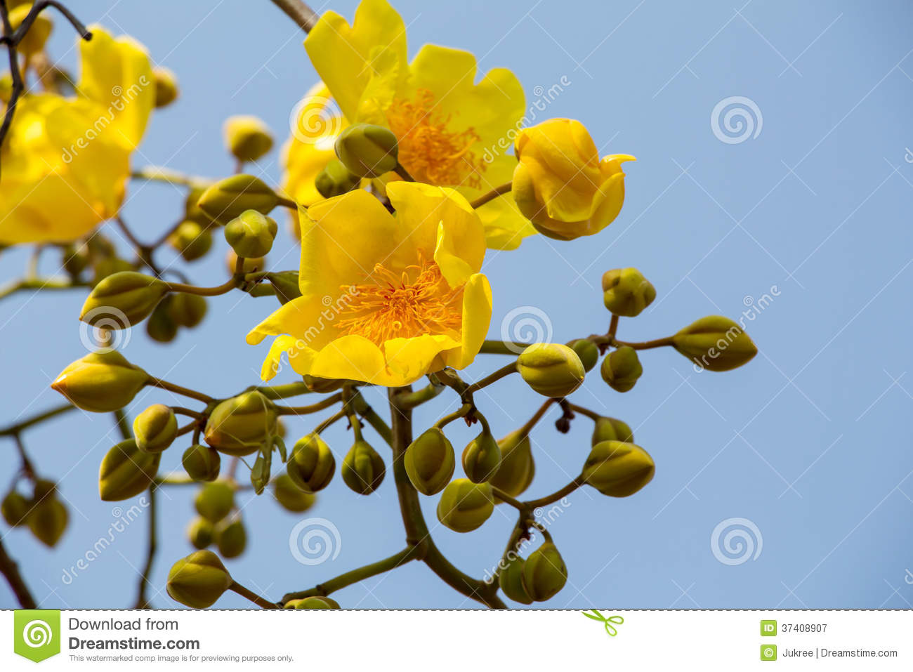 Yellow silk cotton tree flower royalty free stock photography image 37408907 - Trees that bloom yellow flowers ...
