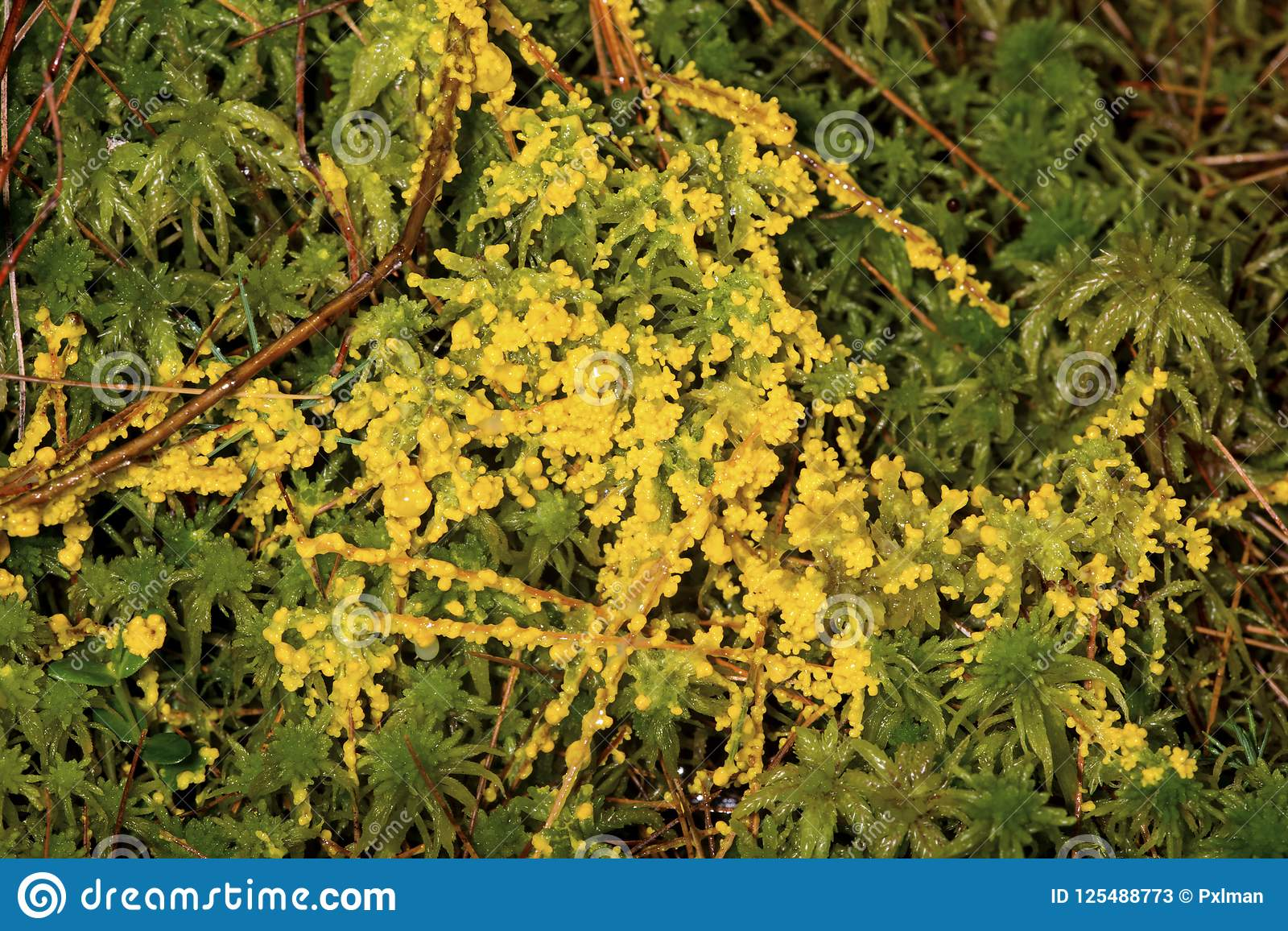 Yellow Slime Mold Growing Over Peat Moss In New Hampshire ...