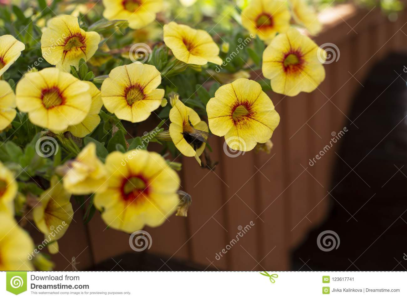 Yellow Small Flowers With Five Petals Close Up Stock Image Image