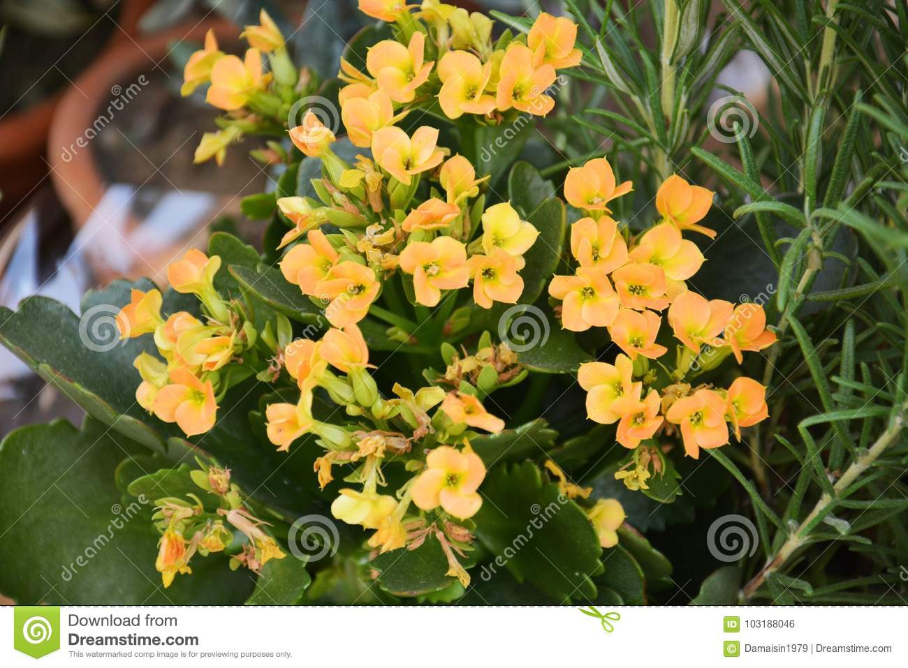 Yellow Small Winter Flowers Natural Background Gardens Stock Photo