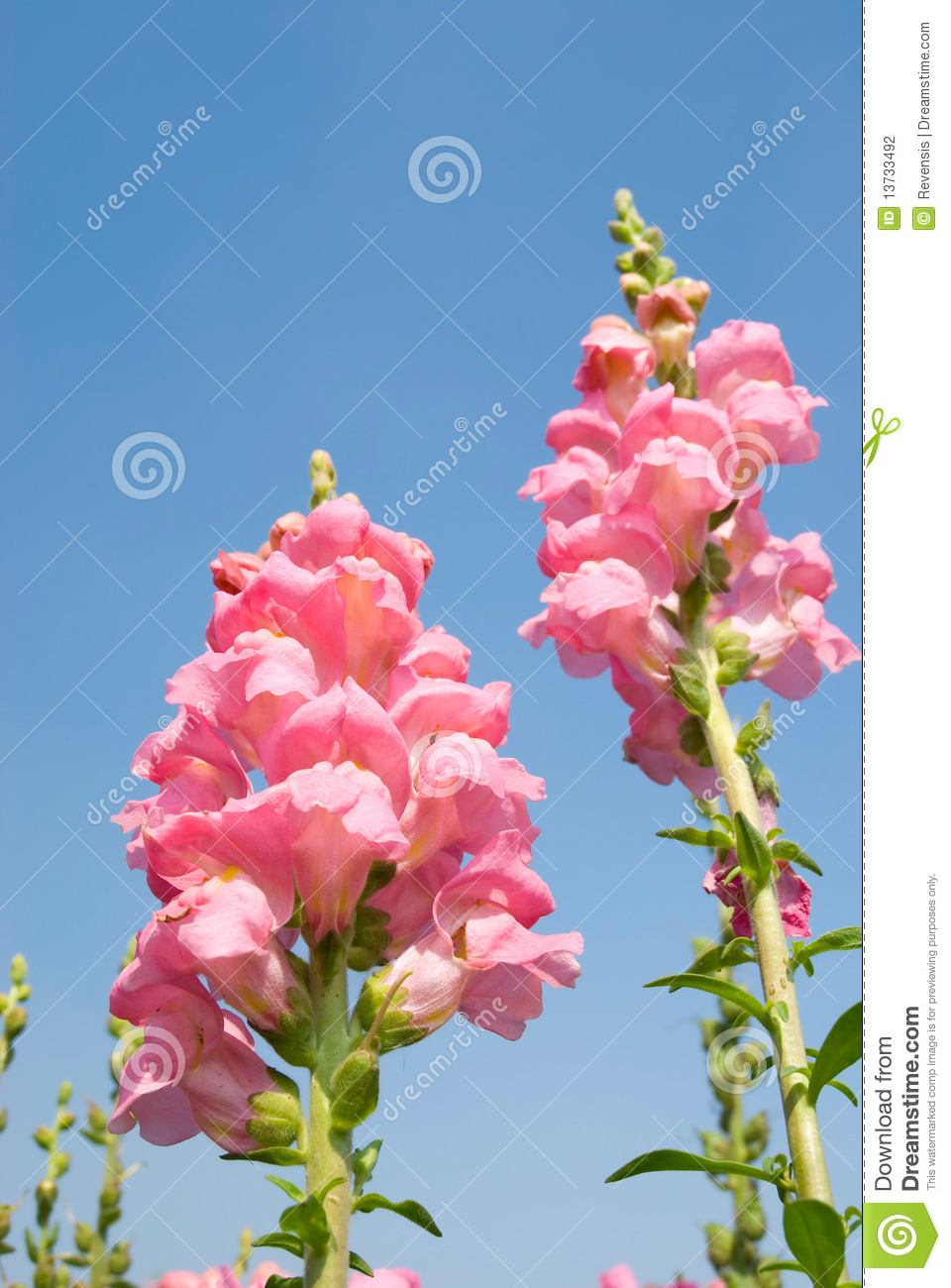 Yellow Snapdragon Flower Under Blue Sky Stock Photo Image Of