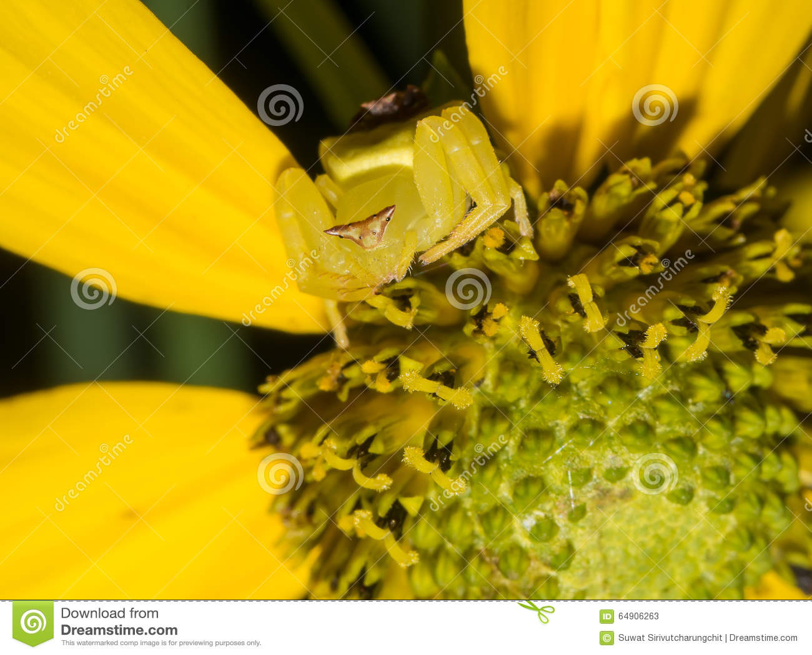Yellow Spider Flower Stock Image Image Of Garden Life 64906263