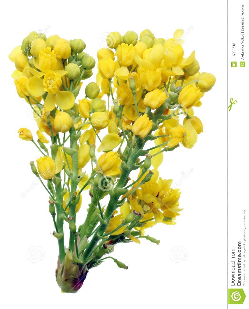 Yellow Spring April Flowers Of The Holly Forest Plant Stock Image